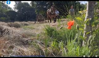 15 juin - Fauche et andainage du fourrage avec un cheval d'une partie du rucher